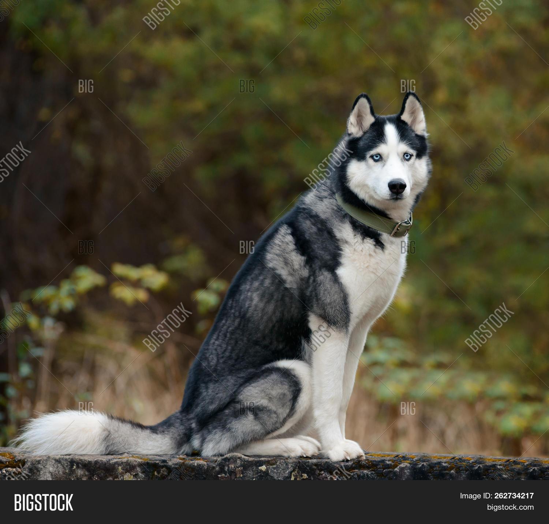 Black White Siberian Image & Photo (Free Trial) | Bigstock