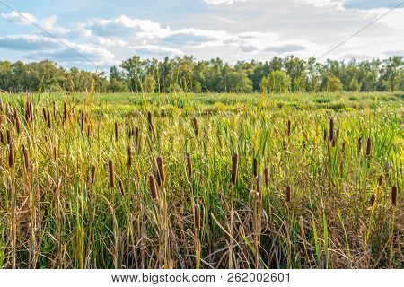 Brown Colored Mature Female Flower Spikes Of Broadleaf Cattail Or Typha Latifolia Plants Grow Togeth