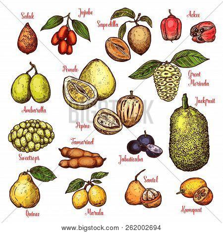 Exotic Tropical Fruits Sketch. Vector Isolated Salak, Jujube Or Sapodilla And Ackee Apple, Ambarella