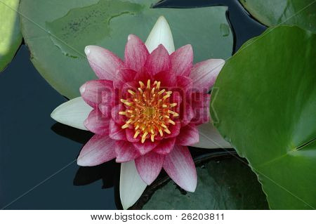 waterlily in full bloom