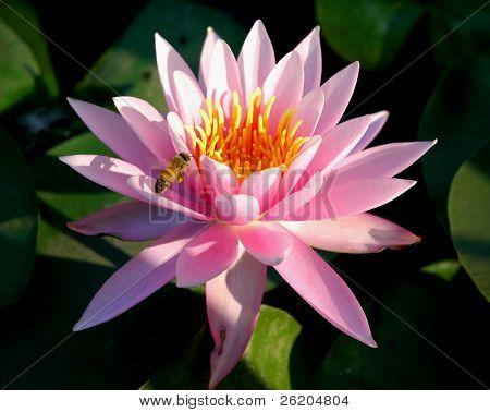 Pink lotus in Japanese Garden