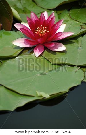 Single pink lotus in Japanese garden, copy space area at the bottom