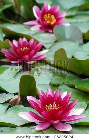 Wild lotuses in the pond -shallow depth of field