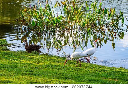 Scenic View Of A Florida Duck And Two Ibises Feeding At The Edge Of A Pond In A Florida Wetland Area