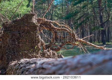 Fallen Pine Tree Is Rotting In The Middle Of The Forest Storm Damage. Fallen Tree In The Park After
