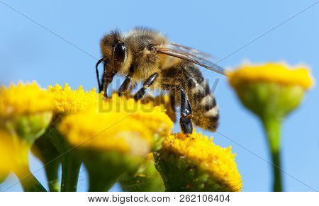Detail Of Bee Or Honeybee In Latin Apis Mellifera, European Or Western Honey Bee Pollinated Of Yello