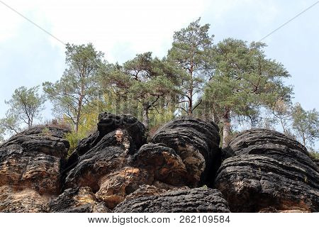 Conifer Trees On A Rock In The Reserve Hrensko, Czech Republic. Scenic View Of The Cliff With Pines