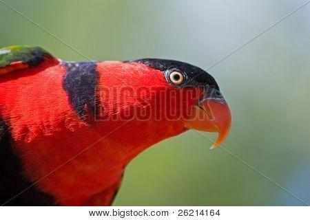 Bright colored Lorikeet birds in a wild aviary