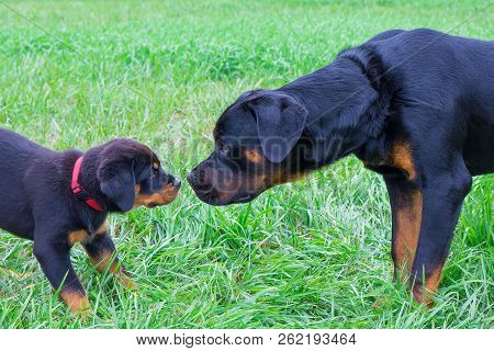 Puppy And Adult Rottweiler Smelling At Each Other In Grass