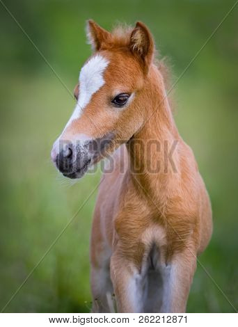American Miniature Horse. Portrait chestnut foal with blaze facial mark on blurred green background.
