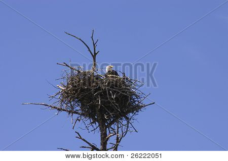 Bald eagle on aerie (nest) in Yellowstone National Park
