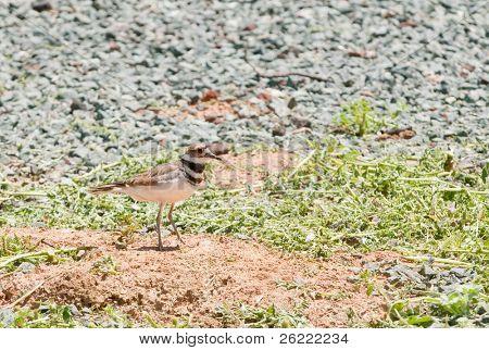 Killdeer (charadrius vociferus), the most widespread plover in North America