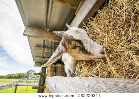 Goat Eating Hay On A Rural Farm In The Summer