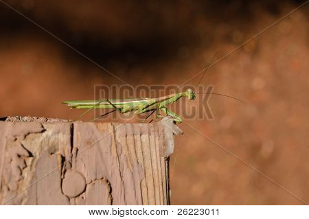 young Praying Mantis sitting on a fence rail poster