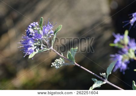Bluebeard Heavenly Blue - Latin Name - Caryopteris X Clandonensis Heavenly Blue