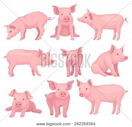 Vector set of pigs in different poses. Cute farm animal with pink skin, flat snout, hooves and big ears. Domestic livestock poster