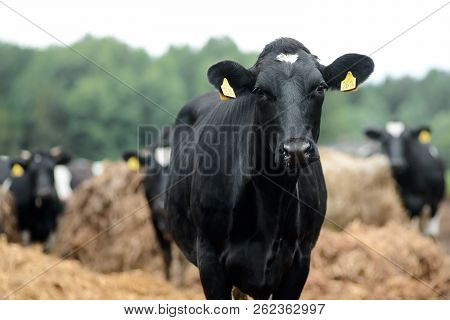 Black Cow On Dairy Farm. Agriculture Industry, Farming And Animal Husbandry