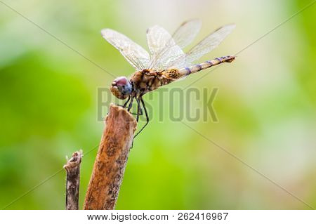 Dragonfly Sitting On A Stick In Nature