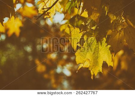 Beautiful Autumn Background With Golden Maple Leaves In The City Park, Toned Photo, Shallow Depth Of