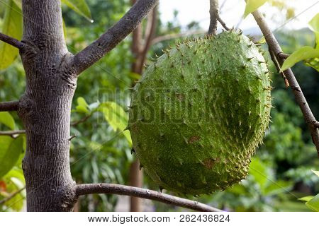 Soursop Fruit Or Annona Muricata On The Tree Is Sour Taste For Make Dodol Sirsak.