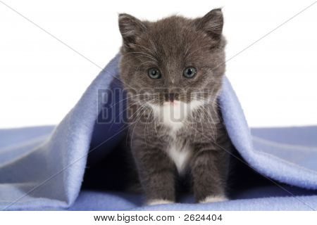 Grey Kitten On A Blue Blanket