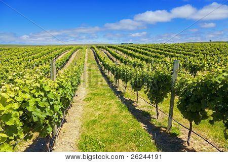 Weinberg in der Region Marlborough Weine Neuseeland
