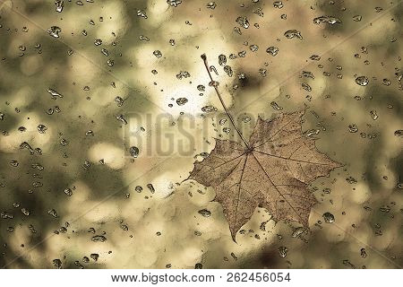 Graphic Drawing Of A Maple Leaf With Water Drops.