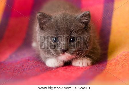 Laying Adorable Grey Kitten On The Carpet