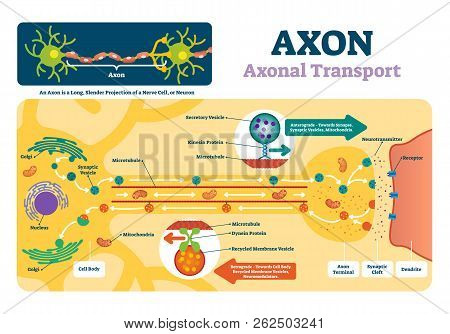 Axon Vector Illustration. Labeled Diagram With Explanation And Structure. Closeup With Cell Body, Te