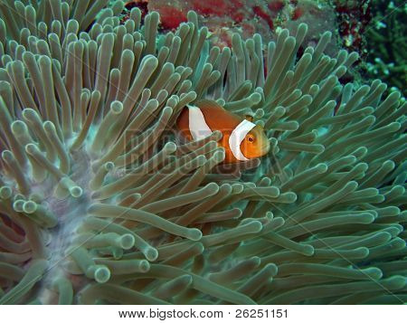 Anemone and Nemoish. Andaman sea. Similan islands.