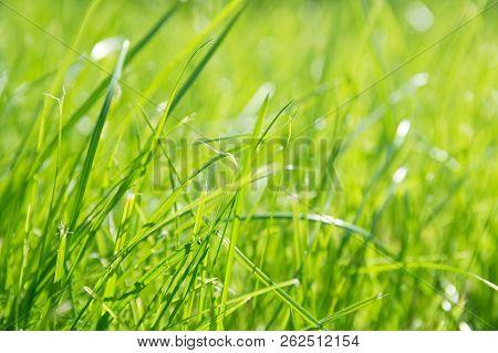 Lawn Background. Fresh Green Grass In Garden. Vividly Bright Green Carpet Outdoor. Decorative Plant