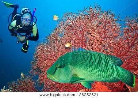 Podvodní krajinu s scuba diver, gorgonií korálů a napoleon