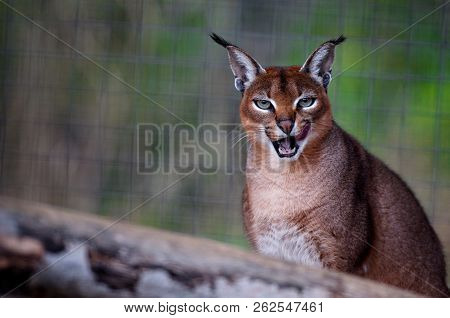 Close-up Portrait Of An Lynx In Forest