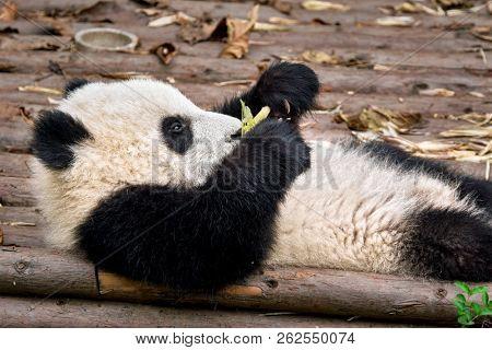 Chinese tourist symbol and attraction - giant panda bear cub eating bamboo. Chengdu, Sichuan, China