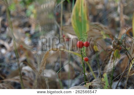 Lily Of The Valley Red Berries In Autumn Forest. Ripe Bright Red Berries Of The Lily Of The Valley A