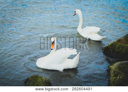 View Of Swans In Calm Water Stock Photos