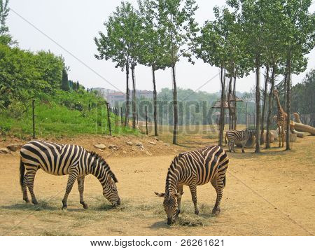 group of african zebra at Dalian Zoo China