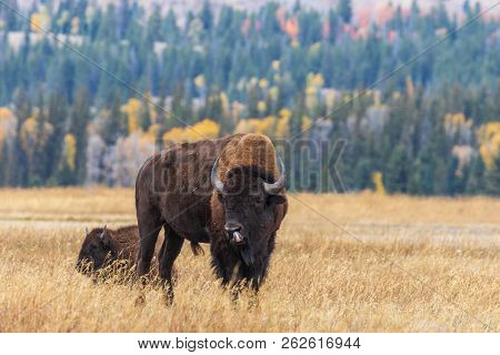 An American Bison Bull In Wyoming In Autumn
