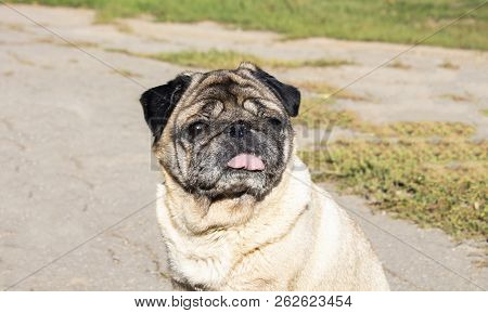 Smart Look Of The Dog. A Curious Dog. Pug. Expressive Dog Eyes Look Into The Lens. A Pet. Four-legge