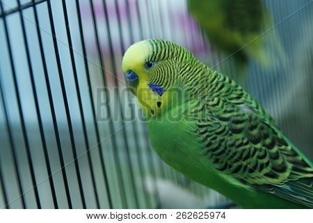 Green Parrot In The Cage . Budgie . Parakeets . Green Wavy Parrot Sits In A Cage . Rosy Faced Lovebi