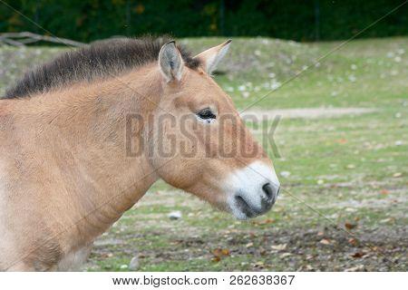 Przewalski-pferd Przewalski's Horse  (equus Ferus Przewalskii)