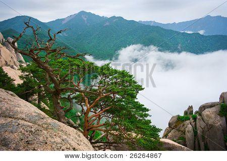Korean pines against cloudy seorak mountains at the Seorak-san National Park, South korea