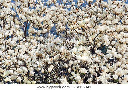white magnolia blossoms floral natural background of spring Jeju island of Korea