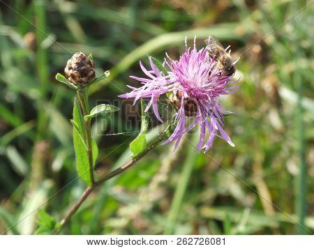 bee on bur  bright, bud, blooming bur, poster