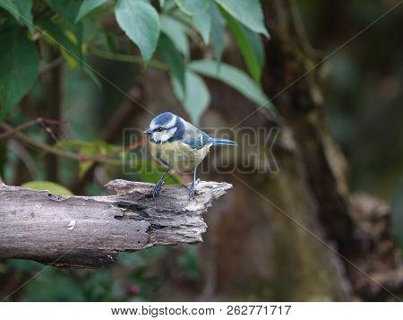 Blue Tit (cyanistes Caeruleus) As Seen In Woodland During Autumn