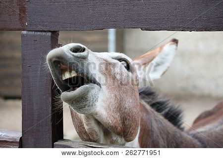 Laughing Donkey -  Funny Donkey. Donkey With Open Mouth, Asks For Food.