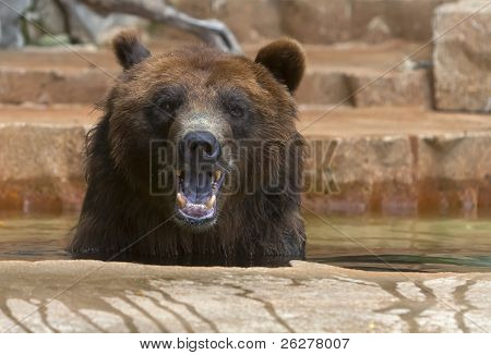 Grizzlies are immense bears, weighing up to 1,400 pounds. They eat both plants and animals, and are very adept at fishing for salmon and trout.