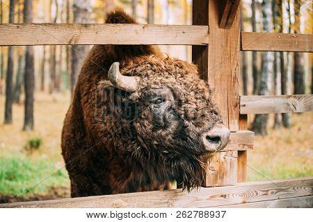 Belarus. European Bison Or Bison Bonasus, Also Known As Wisent Or The European Wood Bison Grazing Ne