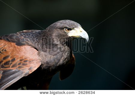 Adult Harris Hawk with Predatory Intense Stare poster
