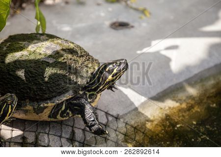 Yellow Bellied Turtle Trachemys Scripta Scripta Swims In A Pond In Southwest Florida In Search Of Fo